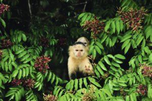 Monkeys in the Panama Rain forest Marella  Panama Cruises Experience