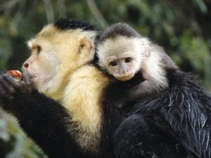 Howler Monkey in Panama Marella  Panama Cruises Experience